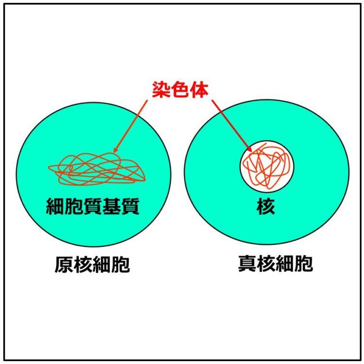原核細胞と真核細胞の図。核の有無が描かれている。
