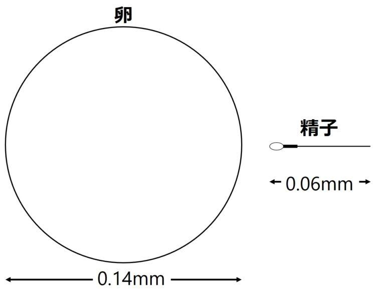 卵は円で、精子はだ円と1本の線で描いてある。