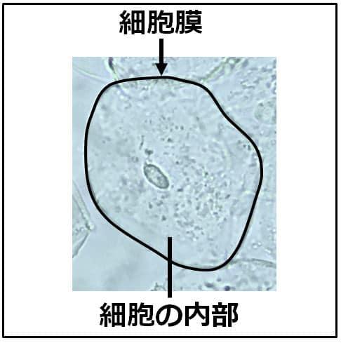 ヒトの細胞の写真