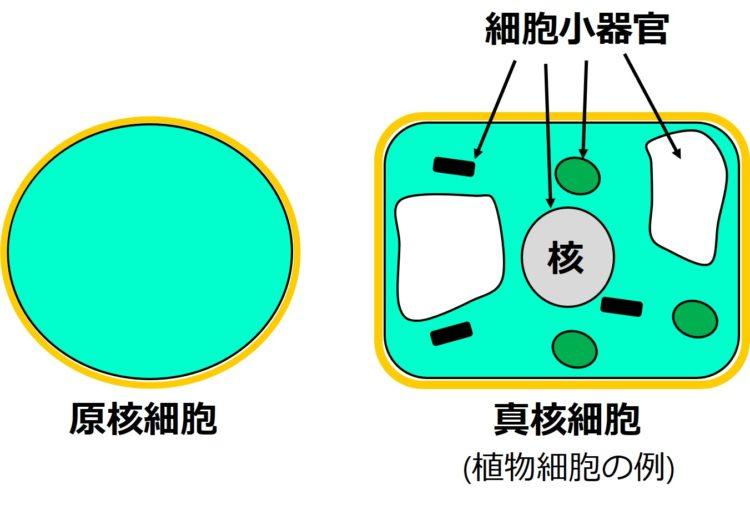 原核細胞が円形の平面図で描かれ、真核細胞である植物細胞の図が、角の丸い長方形の平面図で描かれている。原核細胞の内部には、何も描かれていない。真核細胞の内部には、大きな円形で描かれた核と、その他、小さなだ円形の構造物、黒く短い棒状の構造物、閉じた袋状の構造物が描かれ、これらを細胞小器官とよぶ。