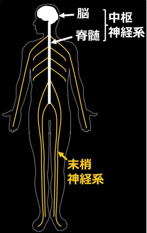 神経系の分類の図