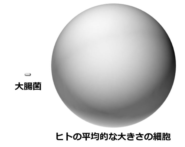 カプセル型の大腸菌の長さは、ヒトの平均的な大きさの細胞(形は球形)の直径の20分の1