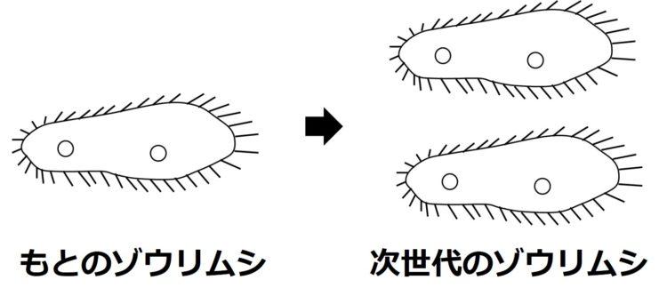 1匹のゾウリムシが2匹に分裂する図。ゾウリムシは、ラグビーボールをやや細長くした形の体の表面全体に、タワシのように多数の短い毛をもっている模式図で描かている。