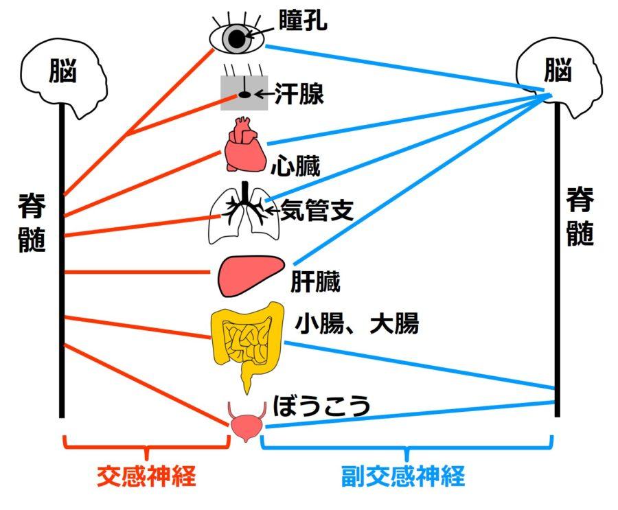 交感神経・副交感神経と、器官とのつながり