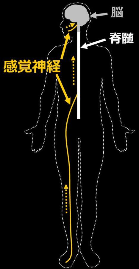感覚神経の働きを示す図