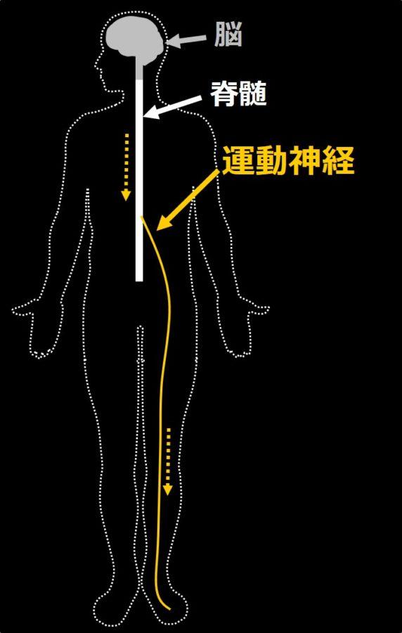運動神経の働きを示す図