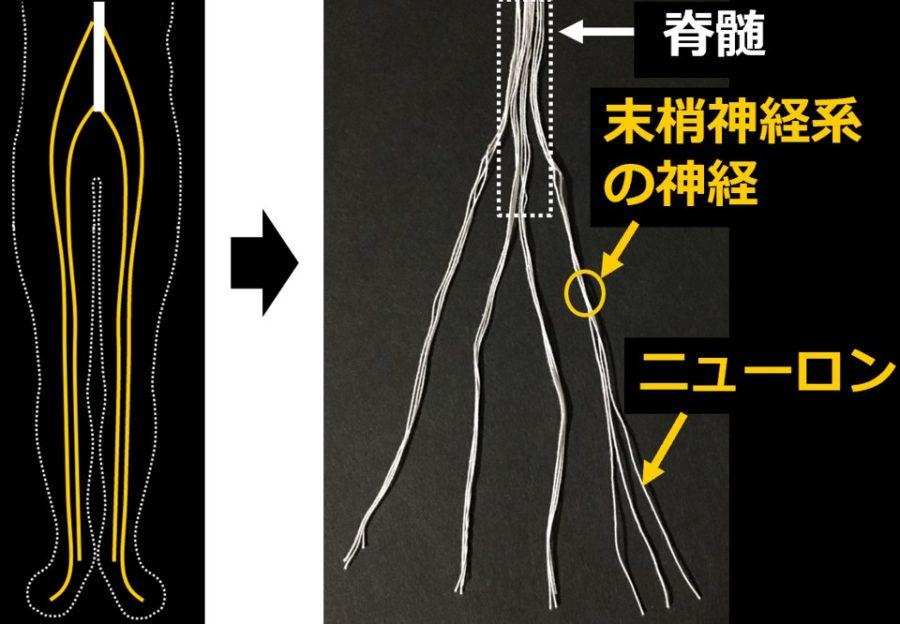 脊髄、末梢神経系の神経、ニューロンのつくりを示す模型図