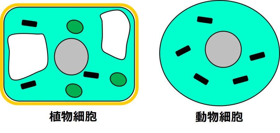 植物細胞と動物細胞の図。植物細胞の細胞膜の周りは、厚い構造で囲まれているが、動物細胞は、囲まれていない。植物細胞の内部には、核、緑のだ円の構造、黒く短い棒状の構造、白い閉じた袋状の構造があるが、動物細胞には、核と黒く短い棒状の構造しか描かれていない。