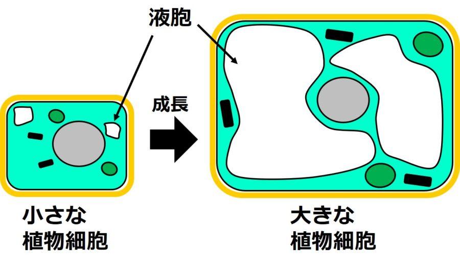 この図では、小さな植物細胞の液胞は、全体の1割、大きな植物細胞の液胞は、全体の8割程度に描いてある。