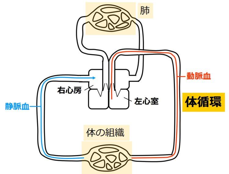 ヒトの体循環