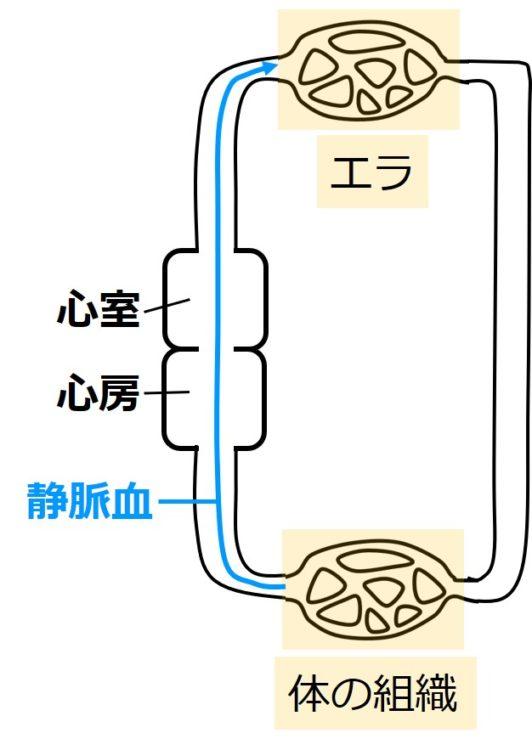 静脈血の循環