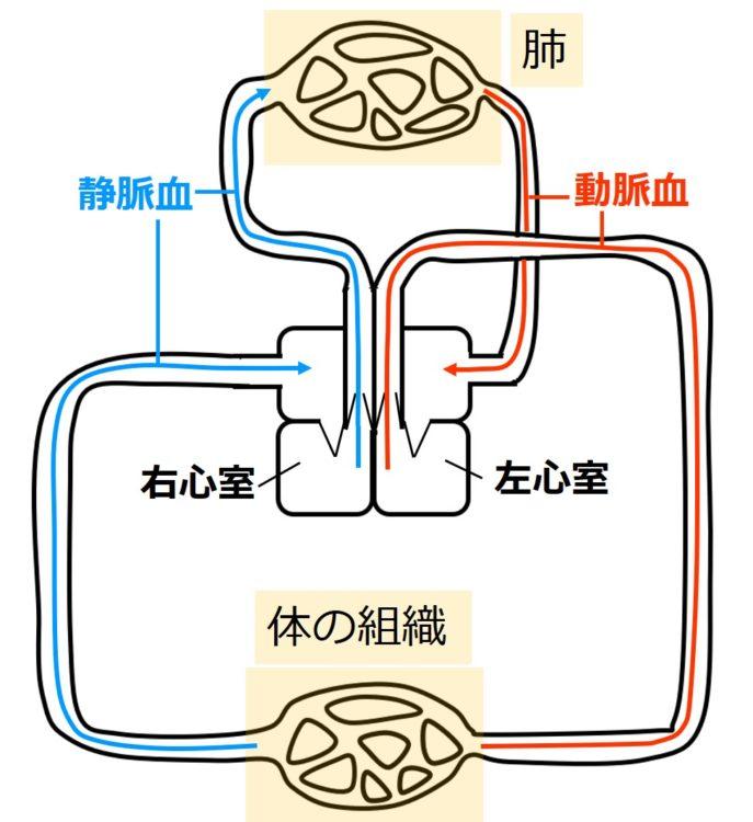 2心房2心室では動脈血と静脈血が混ざらない