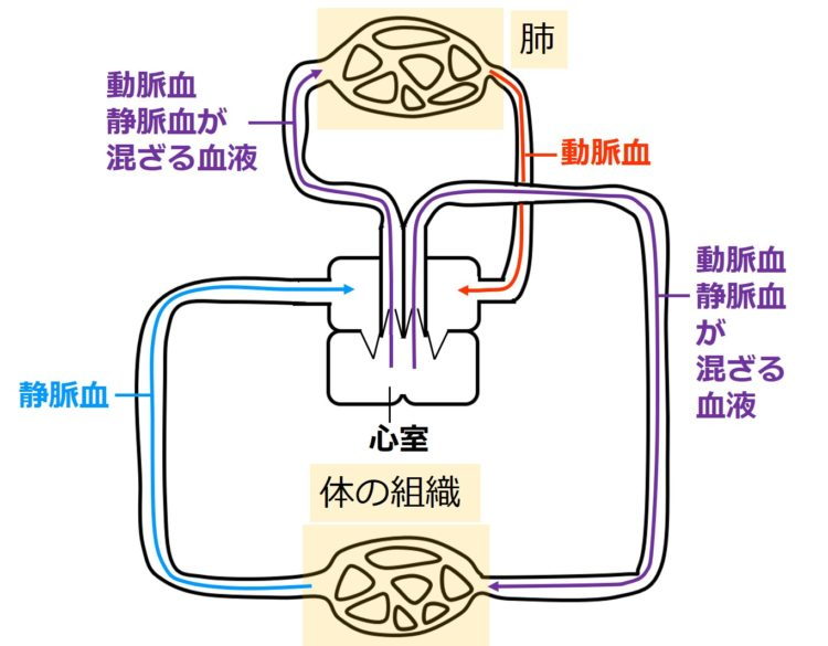 2心房1心室のでは動脈血と静脈血が混ざる
