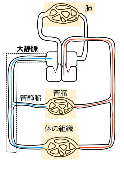腎静脈が大静脈に合流する
