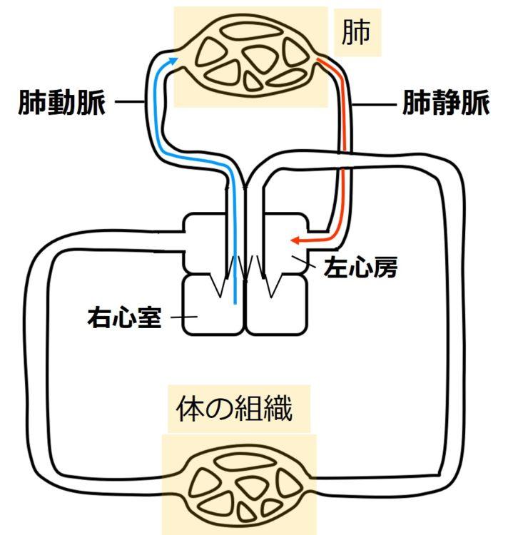 ヒトの肺静脈と肺動脈
