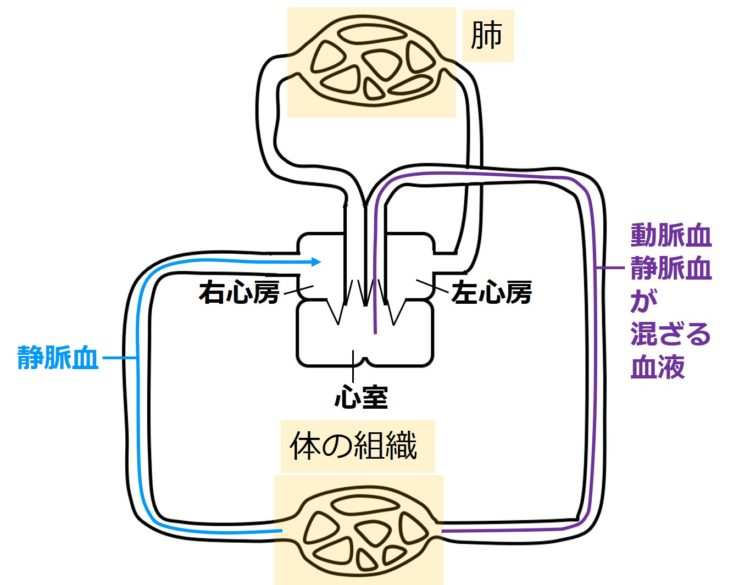 両生類の体循環