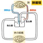 ヒトの肺循環