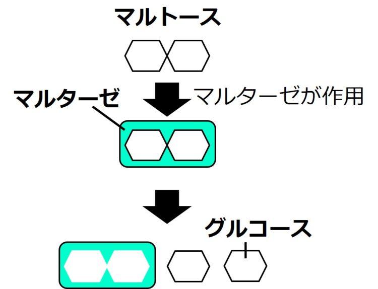 マルターゼは、六角形が2つ結合できる隙間をもつ図形で描かれている。六角形が2つつながったマルトースが、マルターゼと結合し、六角形1つで描かれているグルコースへと分解される。