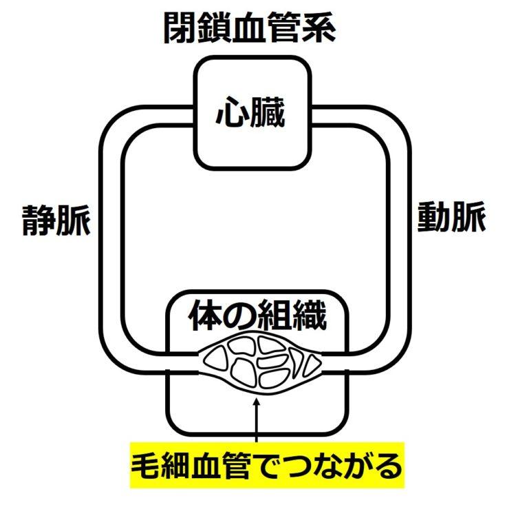 閉鎖血管系の図