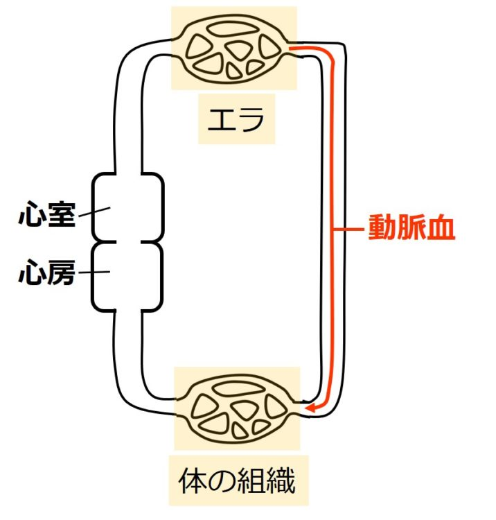 動脈血の循環