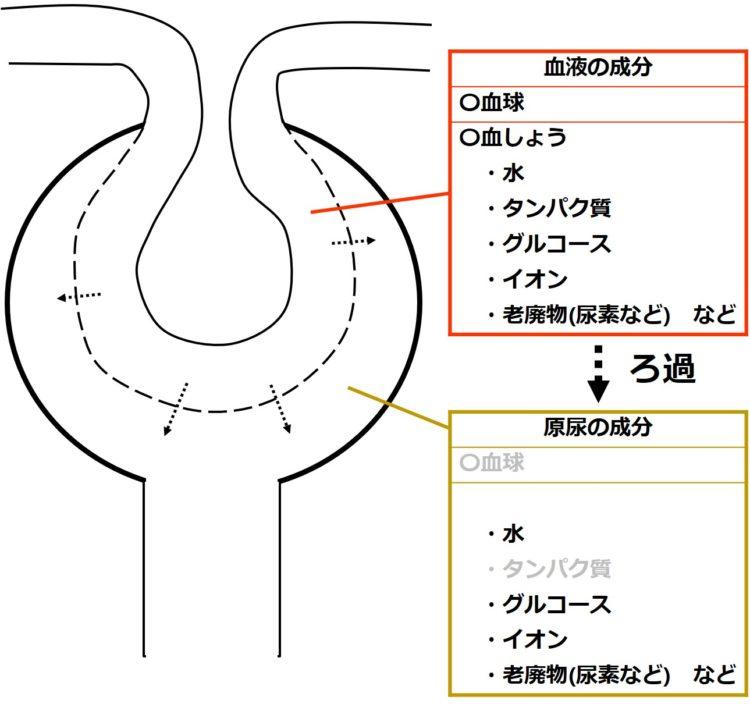 血液の成分と原尿の成分