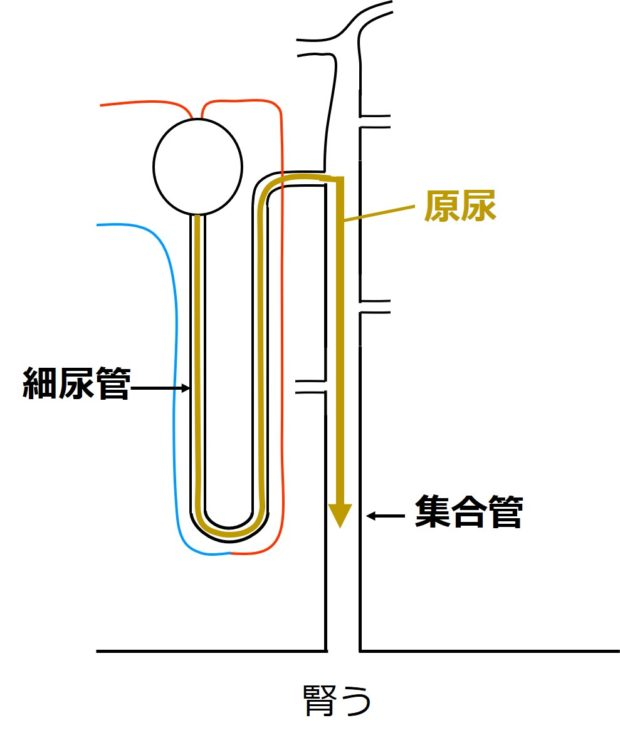原尿の移動