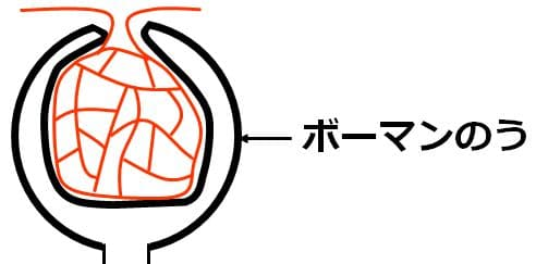 糸球体を取り囲む部分がボーマンのう
