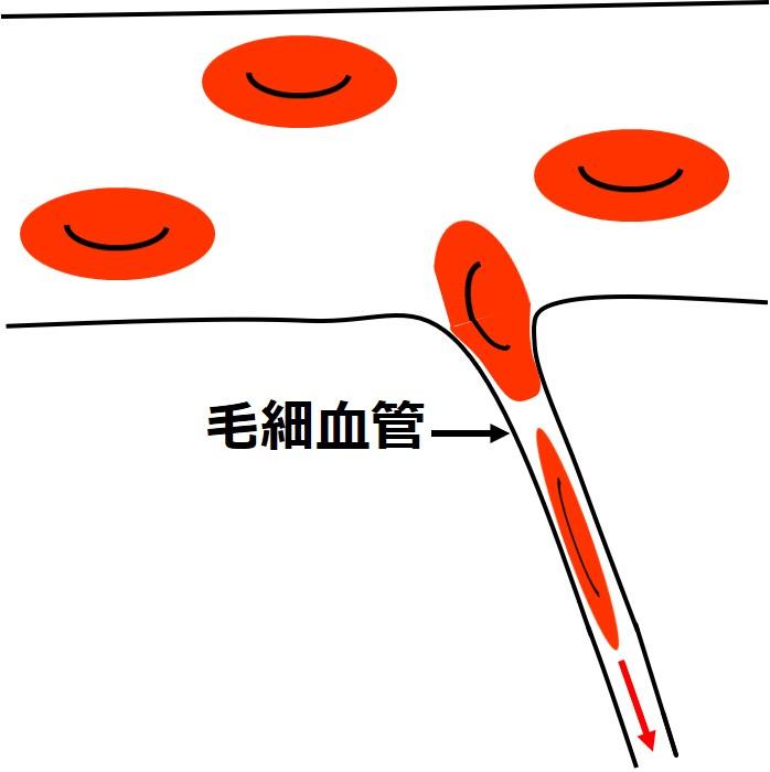 赤血球が毛細血管を通過する図