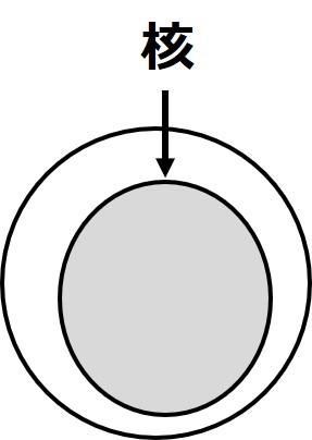 白血球の球状の核