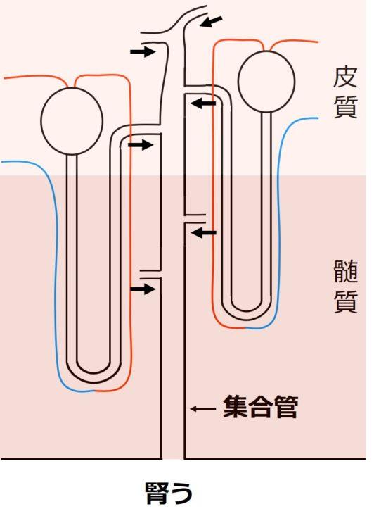 ネフロン6つが、細尿管を介して、1本の集合管に合流する図