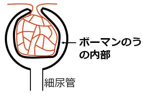 ボーマンのうの内部にあたる部分を矢印で示した図