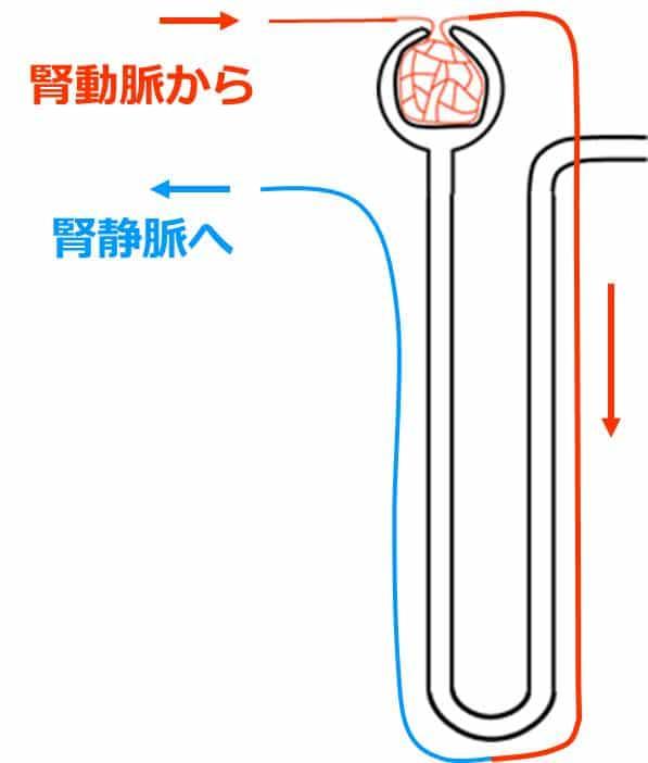 腎動脈から続く血管が糸球体へつながり、糸球体から出た毛細血管が、やがて腎静脈へつながる。