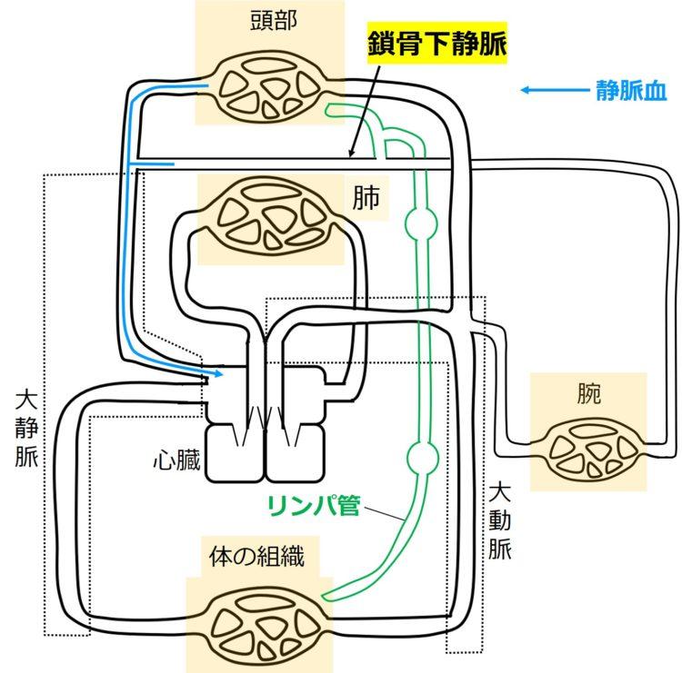 鎖骨下静脈後に、頭部血管と合流