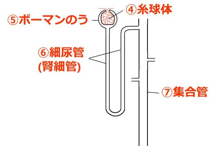 問題2のネフロンの図の解答 ④糸球体 ⑤ボーマンのう ⑥細尿管または腎細管 ⑦集合管