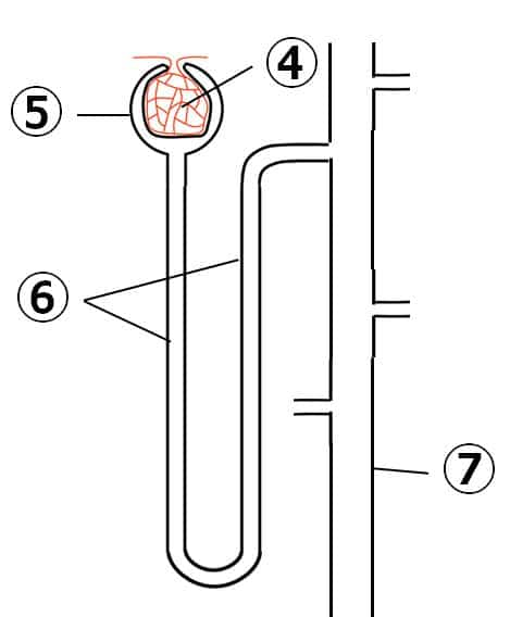 2つ目の図。④は、毛細血管が球状になった部位、⑤は、④を囲む部位を示す。⑥は、⑤と⑦の管をつなぐ、1本の長い管を示す。⑦の管には、複数のネフロンが合流する。