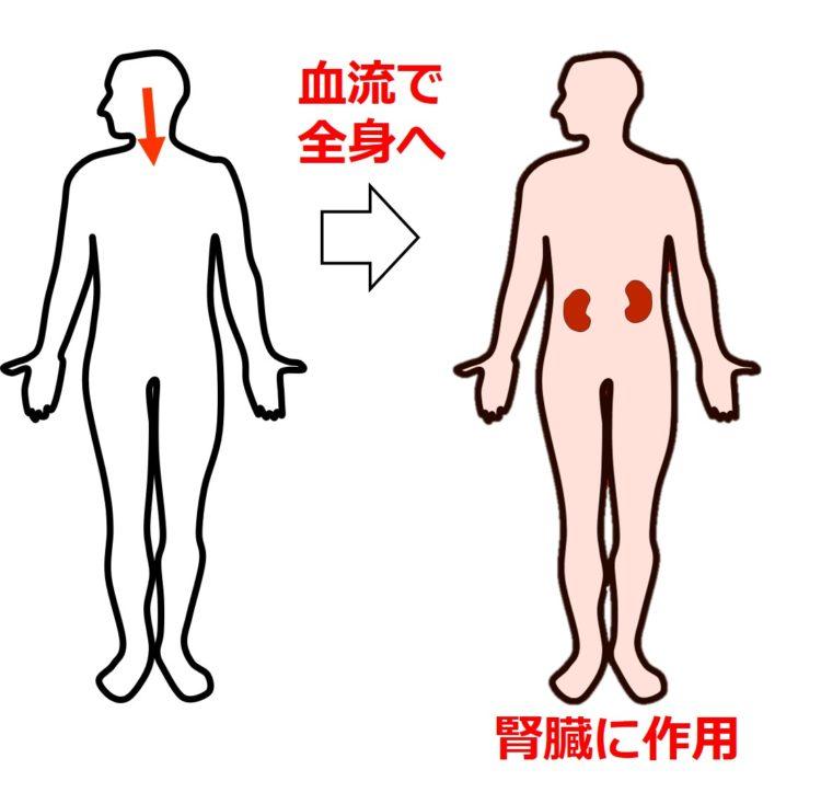 バソプレシンが腎臓に作用