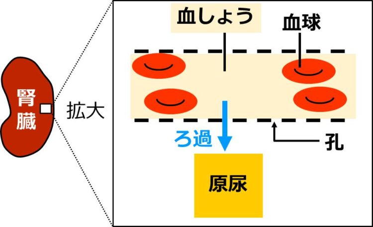 ろ過の図。腎孔のある血管が、2本の点線で描いてある。2本の点線に囲まれた血管内にある血しょうが、点線の孔を通って外へ出ることが矢印で描かれている。この矢印が、ろ過にあたる。出た液体が原尿である。