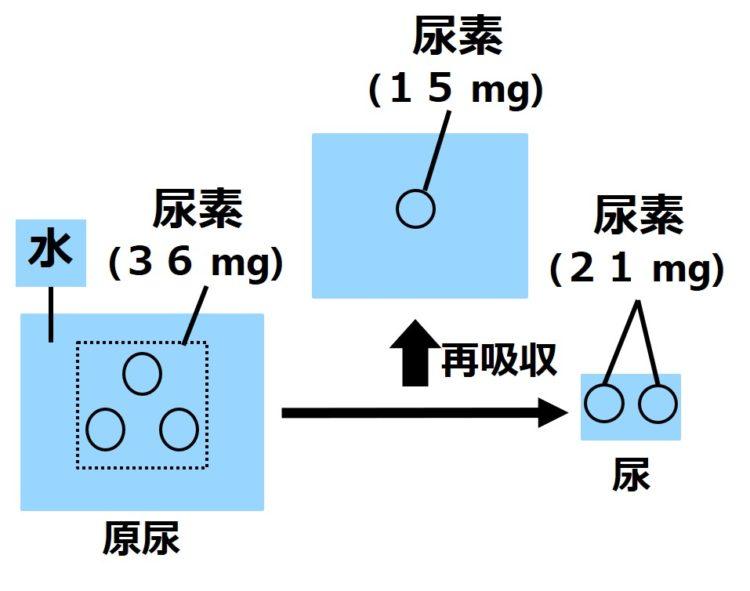 尿素の再吸収量