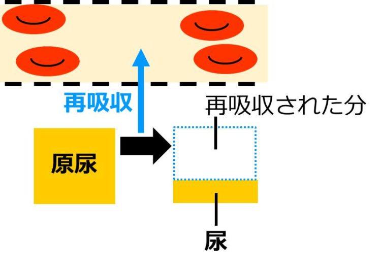 再吸収の図。血管外に、原尿が黄色い四角で描かれている。血管外の原尿から血管内へ再吸収される様子が、血管内へ向く矢印で描いてある。再吸収の結果、残った液体が尿で、原尿よりも小さな黄色い四角で描かれている。原尿の四角と、尿の四角の差の部分が、再吸収された部分である。