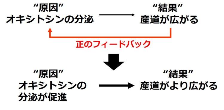 正のフィードバックの例:オキシトシンの分泌