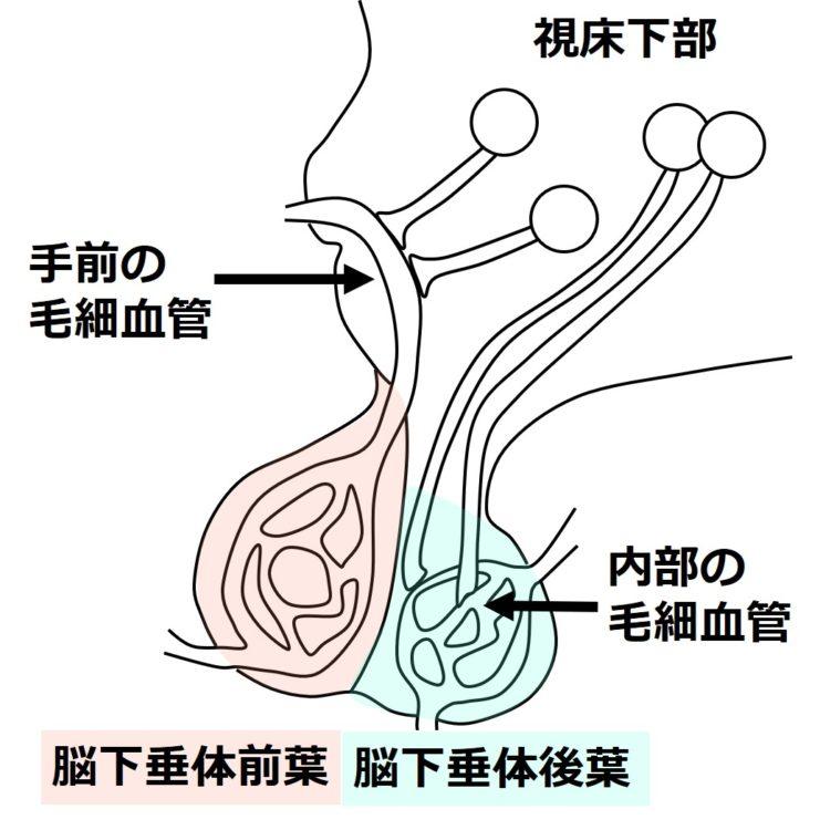 手前の毛細血管と内部の毛細血管