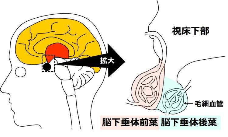 脳下垂体前葉と脳下垂体後葉