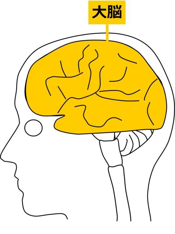 脳を左側からみた図