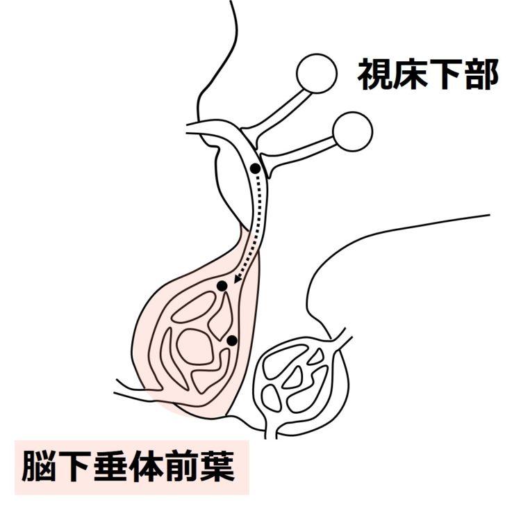 甲状腺刺激ホルモン放出ホルモンが脳下垂体前葉へ