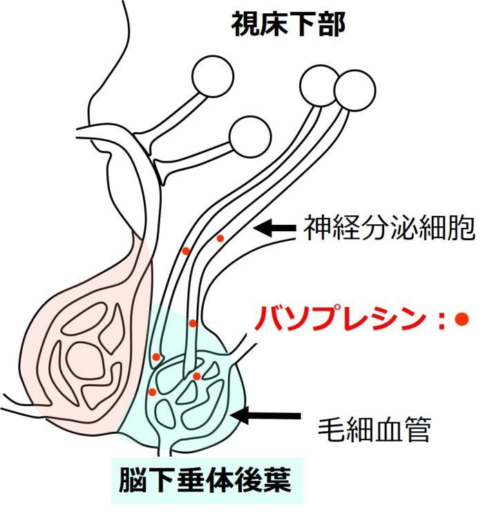 後葉でのバソプレシンの分泌