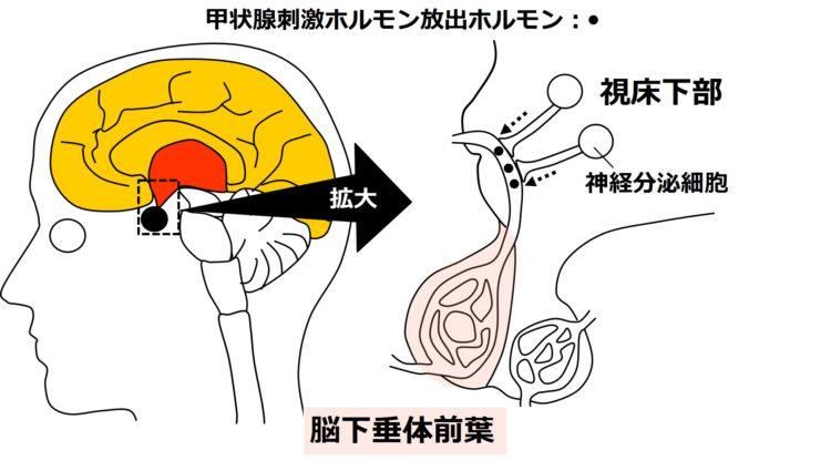 甲状腺刺激ホルモン放出ホルモンの分泌