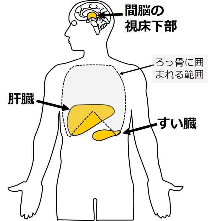 すい臓、視床下部、肝臓の位置