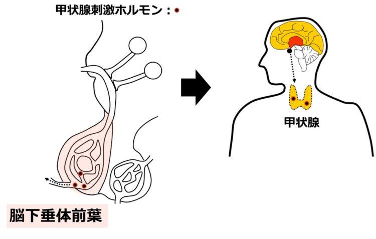 甲状腺刺激ホルモンの分泌と移動