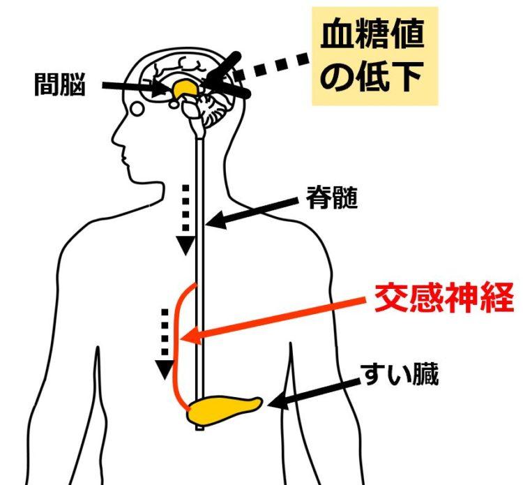 交感神経によるすい臓への働きかけ