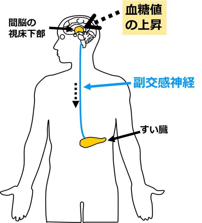 副交感神経によるすい臓への作用
